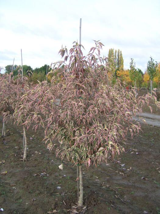 Cornus Kousa Wolf Eyes Chrishaven Trees Flowering